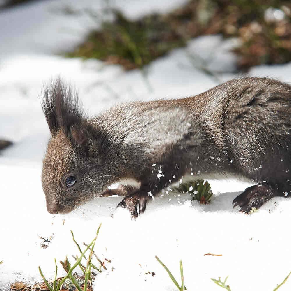 Eichhörnliweg Arosa im Winter