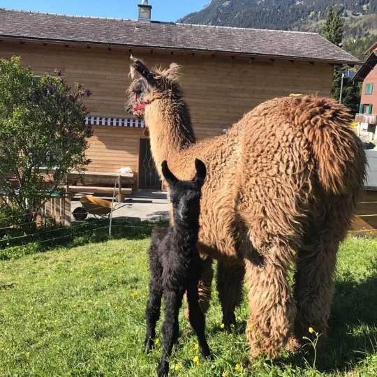 Lama- und Alpaka-Trekking Triesenberg 10