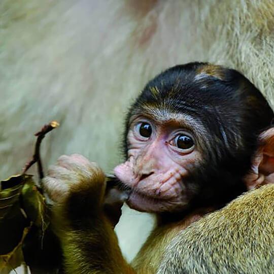 Vorschaubild zu Affenberg Salem - Das besondere Tiererlebnis mit den Berberaffen